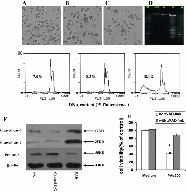 """PAb-induced apoptosis in myeloma cell lines. a–c The MPC-11 was cultured in the presence of NS, control IgG, or PAb (200 µg/ml) in microtiter plates for 48 h before photography. d MPC-11 cells were incubated with PAb (200 µg/ml) in culture medium at 37°C. At 48 h, 10 6 cells were removed and DNA was isolated. M marker, NS normal saline group, C control IgG, S PAb group. e Flow cytometric analysis revealed the proportion of sub-G1 cells (apoptotic cells) to be 7.0% in the NS group ( left panel ), 8.3% in the control IgG group ( middle panel ), and 48.1% in PAb-treated cells ( right panel ). f PAb-induced activity of caspase-3, -8, and -9 in MPC-11 cells. MPC-11 cells were treated with 200 µg/ml PAb ( right lane ), the same concentration of control IgG ( middle lane ), or NS ( left lane ) for 48 h and then lysed as described in """" Materials and methods """". Protein extracts were immunoblotted to monitor the activation of caspase-3, -8, and -9. β-actin was used as the loading control. g Myeloma cells were pretreated with the caspase inhibitor zVAD-fmk at 100 µM for 1 h before treatment with PAb at 200 µg/ml for 48 h. Cell viability was assessed by MTT assay. *Represents the significant difference in cell viability in presence of zVAD-fmk versus PAb treatment alone. Bar graph indicates the mean ± SD of 3 independent experiments ( P"""