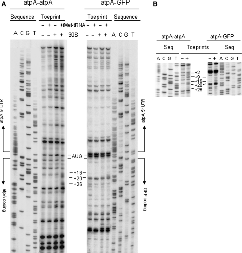 Toeprint analyses of translation initiation complexes on atpA and atpA – gfp RNAs. In vitro transcribed atpA – atpA ( left panels ) and atpA – gfp ( right panels ) RNAs (20 nM) were extended from [γ- 32 P] ATP-labeled oligos that anneal 120-nt downstream of the initiator AUGs, either alone or in the presence of tRNA Met , 30S subunit or both. Sequencing reactions were run alongside. The treatments are indicated at the top of each panel. The positions of the toeprints respective to the initiator AUG (+1) are indicated with lines on the side. a Toeprint reactions using 100-nM 30S subunit, b Inset showing the toeprint area of experiments similar to ( a ) with 200-nM 30S subunit. The figure shows representative autoradiographs obtained from three independent experiments