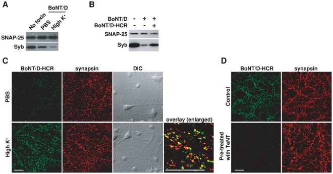 "Stimulation of synaptic vesicle recycling increases the binding and entry of BoNT/D into neurons. A) Cultured rat hippocampal neurons were exposed to BoNT/D (100 pM, 5 min) in either resting condition (PBS) or stimulated conditions (high K + buffer: PBS with 56 mM KCl and 1 mM Ca 2+ ). Cells were washed and further incubated in toxin-free media for 6 hrs. Cell lysates were subjected to immunoblot analysis. Cells that were not exposed to toxins served as the control (No toxin). SNAP-25 was detected as an internal control for loading of cell lysates. The cleavage of Syb by BoNT/D resulted in loss of Syb immunoblot signals. Stimulation of synaptic vesicle recycling with high K + increased the cleavage of Syb. In all the following experiments, high K + buffer was used to load toxins into neurons using the same procedures described here and cell lysates were subjected to immunoblot analysis, unless otherwise indicated in the Figure Legends. B) Neurons were exposed to BoNT/D (100 pM) with (+) or without (−) the presence of 1 µM BoNT/D-HCR. The presence of BoNT/D-HCR reduced the cleavage of Syb by BoNT/D. C) Neurons were exposed to BoNT/D-HCR (80 nM, 5 min) in either PBS or high K + buffer. Cells were washed, fixed, permeabilized, and subjected to immunostaining analysis. Binding of BoNT/D-HCR was detected using an anti-HA antibody. Synapsin was labeled as a marker for presynaptic terminals. High K + buffer increased the binding of BoNT/D-HCR to presynaptic terminals. The ""Overlay"" panel is enlarged from the center region of the ""high K + "" sample, showing high degrees of co-localization between BoNT/D-HCR (green) and synapsin (red). The scale bars represent 20 µm in all figures. D) Neurons were pre-treated with TeNT (1 nM, 12 hrs in media) and then tested for the binding of BoNT/D-HCR as described in panel C. Control cells were not exposed to TeNT. Pre-treatment with TeNT prevented the binding of BoNT/D-HCR to neurons."