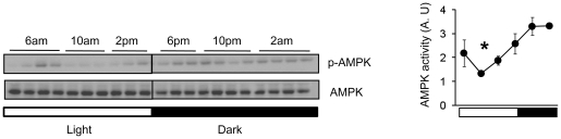 Circadian oscillation of AMPK activity in hypothalamus across the 24 hr light-dark cycle. Left, A representative Western blot showing the phosphorylation level of AMPK (T172) in extracts from mouse hypothalamus which were harvested at 4 hr intervals in a 12h light:12h dark (LD) cycle. The entire hypothalamus from 3 months old male C57BL/6J mice was used for this experiment. Right, Quantification of phosphorylated AMPKα (T172) is shown in arbitrary units (n = 3–4 per time point). Average AMPK activity (arbitrary unit) was calculated by densitometric quantification of phosphorylated proteins normalized to total proteins. Lights-on (6am; light) is indicated by a white bar and lights-off (6pm; dark) is indicated by a black bar. Results are means ± S.E. * P