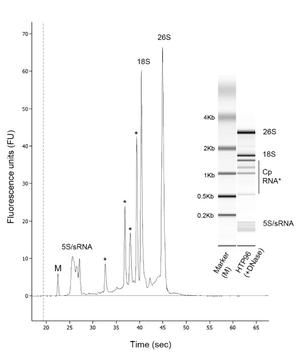 Microfluidic electrophoresis of HTP96-extracted RNA . The quality of HTP96 RNA (4 μL at 300 ng μL -1 ) was measured on an Agilent 2100 Bioanalyzer microfluidic electrophoresis chip following treatment with DNase. The microfluidic electrophoresis image (inset) and electropherogram are typical of high quality Arabidopsis RNA showing the clear cytosolic and plastidic (Cp, asterisks) ribosomal bands. RNA species of low molecular weight are also apparent. gDNA contamination is effectively removed by DNase treatment.