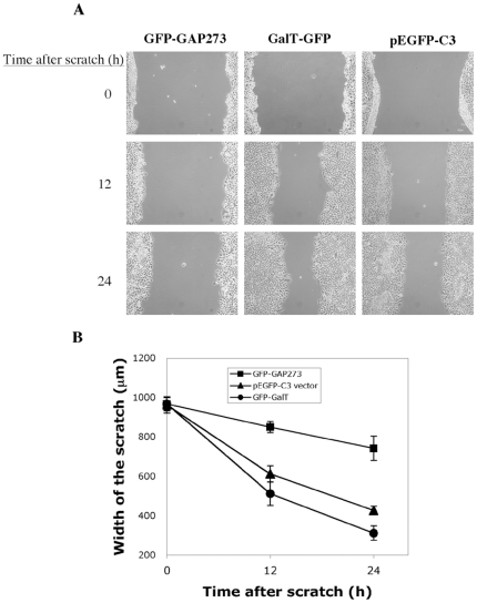 Cells over-expressing non-catalytic GFP-GAP273 migrate more slowly in an in vitro wound healing assay. Monolayers of HEK293 cells transiently transfected with GFP-GAP273, GFP-GalT, or <t>pEGFP-C3</t> empty vector were scratched and the cell were allowed to spread into the scratched area. The degree of cell migration into scratched area was recorded at the indicated times. A. Images of cell migration over time. B. The average widths of the scratched area measured at various points are graphed. (n = 5, Error bars = S.D.)