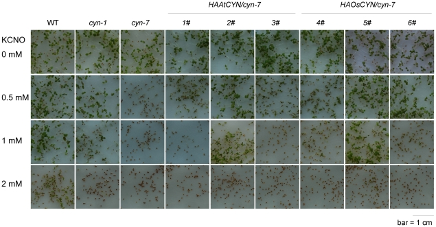 Decomposition of cyanate by AtCYN and OsCYN in vivo . Seeds were plated on MS medium containing either 0 mM, 0.5 mM, 1 mM or 2 mM KCNO. Plates were incubated at 4°C for 3 days and then transferred to a growth chamber for 7 days.