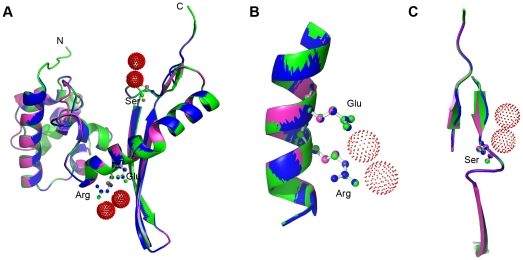 Homology modelling of AtCYN and OsCYN. (A) The predicted structures of AtCYN (blue) and OsCYN (magentas) were similar to the crystal structure of the EcCYN monomer (green). Ball-and-stick figures represent the conserved catalytic residues Arg96, Glu99 (B) and Ser122 of the EcCYN (C). Red dots indicate chloride ions.