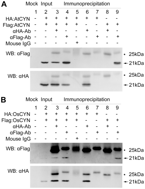 Coimmunoprecipitation assay demonstrating self-interaction of AtCYN (A) and OsCYN (B). Although an extremely low amount of OsCYN proteins was detected in the input samples, an identical pattern was shown by OsCYN in the assay. Lane 1: Mock; Lane 2: HA:CYN and FLAG:CYN were detected in the input samples; Lane 3: when anti-HA antibody was added, FLAG:CYN immunoprecipitated with HA:CYN (Lanes 6 8 were controls); Lane 4: when anti-FLAG antibody was added, HA:CYN immunoprecipitated with FLAG:CYN (Lanes 7 9 were controls); Lane 5: Native mouse IgG was used as negative control of antibodies. Bands of HA:CYN and Flag:CYN are indicated with arrows and bands of mouse IgG are indicated with stars.