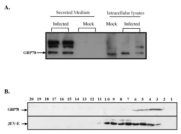 GRP78 is released into the media upon JEV infection and partially co-fractionates with the JE virion . A) Verification of GRP78 in the secretome from JEV-induced BHK-21 cells. Cell lysates or secretion medium were collected 3 days post-infection followed by SDS-PAGE for protein separation. The GRP78 was detected by anti-GRP78 specific antibody. Two independent replicates are shown for the mock- and JEV-infected conditions. B) Sucrose density gradient fraction of JE virion and GPR78. A volume of 40 μL of sample from each fraction was analyzed on SDS-PAGE followed by the detection of anti-JEV E protein and anti-GRP78 by Western blotting.