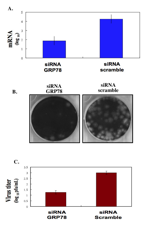 Knocking-down the expression of GRP78 by siRNA decreases the yield of infectious JE virus production . BHK-21 cells were transfected with siRNA against GRP78 or an irrelevant siRNA (negative control). The down-regulation of GRP78 was measured by Western blot analysis using antibody specific to GRP78 as shown in Figure 5. A) Transfected cell lysates were then infected with JEV at an MOI of 1. At 24 hours post-infection, the supernatants were collected to measure the amount of JE viral RNA production by RT real-time PCR as described in Material and Methods. The virus yield is expressed as a percentage of the yield obtained from cells transfected with irrelevant siRNA. B) Plaque formation by JE virus-particle collected from JEV-infected scramble siRNA treated cells or cells treated with siRNA against GRP78. C) Quantitative measurement of viral progeny produced from JEV-infected scramble siRNA treated cells or cells treated with siRNA against GRP78. The virus titer is defined as plaque-forming unit (PFU) per mL. Results are derived from three independent experiments.