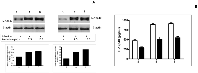 Effect of Berberine chloride on IL-12p40 in macrophages. A: Uninfected (a) and L. donovani infected (d) macrophages were treated for 18 h with Berberine chloride 2.5 µM (b, e) or 10 µM (c, f). RNA was isolated, subjected to RT-PCR and the products of β-actin and IL-12 p40 mRNA were resolved on an agarose gel (1.5%) and quantified densitometrically using Total lab software as described in Methods . B: Uninfected macrophages (1×10 6 /ml, □, a) or L. donovani infected macrophages (▪, a) were treated with Berberine chloride 2.5 µM (b) and 10 µM (c) for 24 h and assayed for levels of IL-12p40 in culture supernatants by ELISA as described in Methods . Each point represents the mean ± SEM of IL-12p40 (pg/ml) of at least 3 experiments in duplicate.