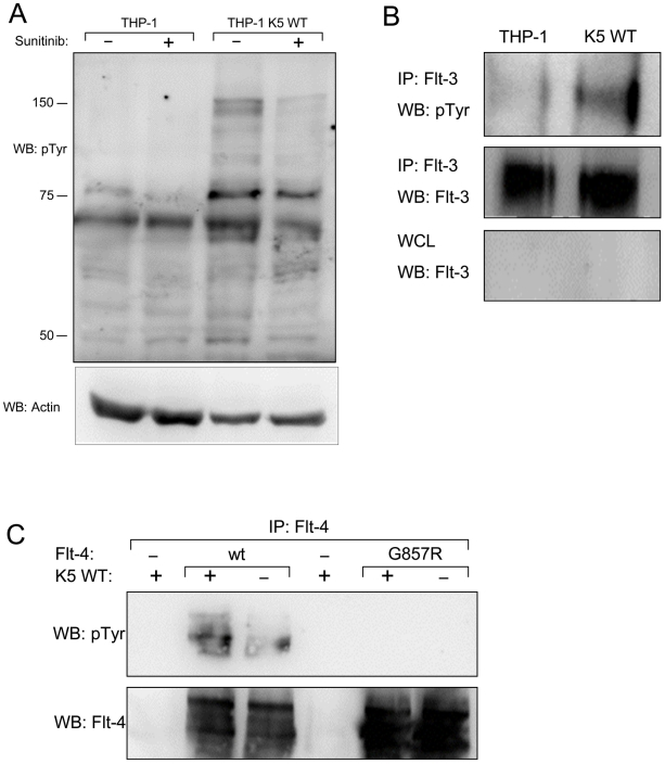 THP-1 cells stably expressing K5 WT have sunitinib-sensitive increased RTK phosphorylation. ( A ) Normalized whole cell lysates from THP-1 cells, mock (PBS) or sunitinib (2 µM) treated, were subjected to western blot using an anti-phospho-tyrosine (4G10) (pTyr) antibody (top panel) and reprobed with an anti-actin antibody (bottom panel) to demonstrate equal loading. ( B ) Normalized WCL from parental or K5 WT-expressing THP-1 cells were subject to immunoprecipitation (IP) using anti-Flt-3 antibodies followed by western blot (WB) using an anti-phospho-tyrosine (4G10) (pTyr) antibody (top panel). The IP (middle panel)and whole cell lysates (WCL) (bottom panel) were probed with anti-Flt-3 antibodies, as controls. ( C ) 293T cells were co-transfected with expression constructs for K5 and Flt-4 or a Flt-4 mutant (G857R). Two days post-transfection, cell lysates were subjected to IP using anti-Flt-4 antibodies. western blot (WB) was performed using anti-phospho-tyrosine (4G10) (pTyr) antibodies (top panel) and re-probed with anti-Flt-4 antibodies (bottom panel). Data for all panels are representative of three independent experiments.