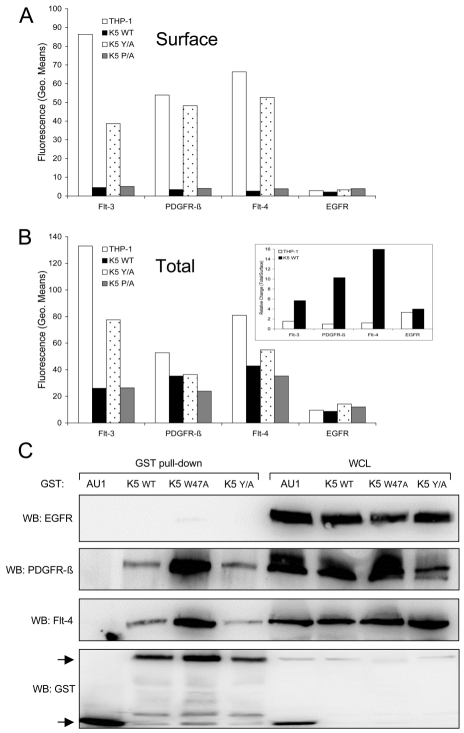 K5 interacts with and alters RTK localization. Equal cell numbers of the indicated THP-1 lines were fixed with paraformaldehyde (PFA) and ( A ) stained without permeabilization to determine surface expression or ( B ) permeabilized with saponin prior to staining to determine total expression of Flt-4, PDGFR-ß, Flt-3 and EGFR by flow cytometry. Data are representative of three independent experiments. ( B, Inset ) The relative ratio of surface versus total RTKs was determined for vector- and K5 WT-expressing THP-1 cells. ( C ) 293T cells were co-transfected with expression constructs for EGFR, PDGFR-ß, or Flt-4 and the indicated GST expression constructs. After two days, lysates were subjected to GST pull-down using glutathione-sepharose beads. Purified proteins and whole cell lysates (WCL) were subjected to western blot (WB) using anti-EGFR, -Flt-4 or -PDGFR-ß antibodies, followed by re-probing with anti-GST antibodies. Arrows indicate GST or GST-K5 WT and mutant specific bands. Data are representative of three independent experiments.