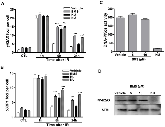 IKKβ inhibitor is equally potent as DNA-PK and ATM inhibitors in inhibition of the repair of IR-induced DSBs. (A) and (B) MCF-7 cells were incubated with vehicle (0.1% DMSO) or 5 µM BMS-345541 (BMS), NU-7026 (NU) or <t>KU-55933</t> (KU) for 1 h before exposure to 2 Gy IR. DSBs were analyzed by γH2AX and 53BP1 immunofluorescent staining before IR (CTL) or at various time points after IR. The average numbers of γH2AX and 53BP1 foci/cell from three independent experiments are presented as mean ± SE. *** p