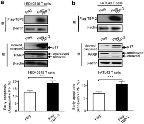 Ectopic expression of TBP-2 in the late stage of HTLV-I-transformed T cells inhibits cell growth and causes apoptosis. I-ED40515T cells ( a ) and I-ATL43T cells ( b ) were transfected with 2 μg <t>pCMV-tag2A-TBP2</t> or empty vector pCMV-tag2A, respectively. After 48 h, immunoblotting was performed using an anti-Flag antibody to detect Flag-tagged TBP-2 expression (upper panel) and other corresponding antibodies to detect cleaved caspase-3, PARP, β-actin, respectively (middle panel). Flow cytometry assay was performed to detect early apoptotic proportion (lower panel). Data are shown as mean±s.d. ( n =3). *** P
