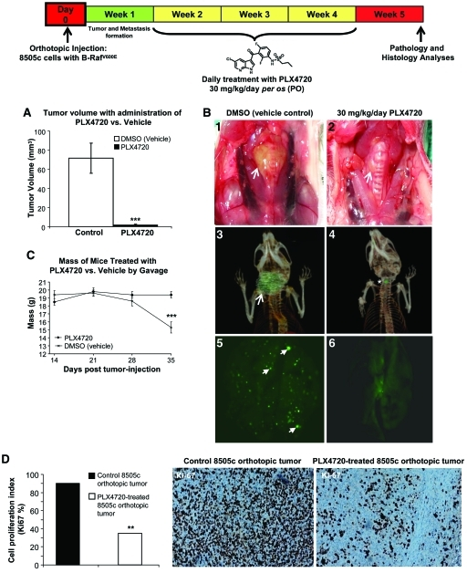 Tumor growth and lung metastasis in an orthotopic mouse model of human anaplastic thyroid cancer. (A): Three weeks of PLX4720 treatment resulted in lower orthotopic tumor growth than in controls (*** p
