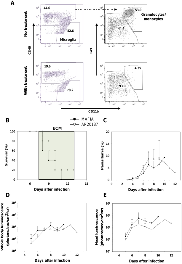 Depletion of myeloid cells does not alter IRBC distribution during ECM. MAFIA mice were infected with PbA luc and injected on days 5, 6, and 7 with the drug AP20187 as described in Material and Methods . (A) Depletion of granulocytes/monocytes (defined as CD45 + CD11b + Gr1 + ) was assessed by flow cytometry on day 7 post-infection. Data plots presented are from one mouse and similar data were obtained for 4 more mice. (B) Survival and (C) parasitemia of treated and non-treated MAFIA mice (5 per group). Neurologic signs of CM appeared on days 6–12 (shaded area), with death occurring 24–48 h after onset. Parasitemia (%) values are expressed as mean ± SD of 5 mice per group. In vivo bioluminescence imaging quantification of IRBC accumulation in the whole body (D) and head (E) of treated and non-treated infected mice. Luminescence values (log) as mean ± SD of 5 mice.