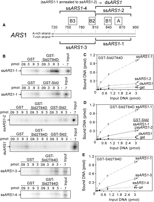 Sld2T84D binds to ss ARS1 . ( A ) Schematic of ARS1. The complete nucleotide sequences are found in Supplementary Table S1 . ( B ) Purified GST–Sld2T84D, GST–Sld2 or GST were studied for interaction with radiolabeled DNA as indicated to the left of the gel. GST–Sld2T84D, GST–Sld2 or GST (13 pmol) and varying amounts of DNA, as indicated in the figure, were mixed with 1.3 mg glutathione agarose beads and incubated for 5 min at 30°C. The beads were washed and analyzed as described in 'Materials and Methods' section. The results from experiments similar to (B) were quantified and plotted as pmol of DNA bound versus pmol of input DNA ( C, D and E ). Sld2T84D binds tighter to ss ARS1 -1 than to either ss ARS1 -2 or ds ARS1 . Sld2T84D binds tighter than Sld2 to ss ARS1 -1.