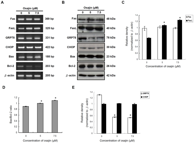 Effect of osajin on the expression of Fas/CD95, FasL/CD95L, GRP78/BiP, CHOP/GADD153 and Bcl-2 family proteins. TW04 cells were treated with various concentrations of osajin for 24 h. ( A ) <t>RNA</t> was isolated from cells treated with 5 µM or 7.5 µM osajin. Two µg of RNA was reversely transcribed into cDNA using <t>oligo</t> (dT) primers. RT-PCR analysis was performed using primers specific for Fas, FasL, GRP78, CHOP, Bax and Bcl-2 genes and also the internal control gene, β-actin. ( B ) Cell lysates were prepared for SDS-PAGE followed by Western blot for Fas, FasL, GRP78, CHOP, Bax and Bcl-2, with β-actin as a loading control. ( C ) to ( E ) Results are presented as the relative densities of protein bands normalized to β-actin. The data shown are the means ± SE of three individual experiments (* P