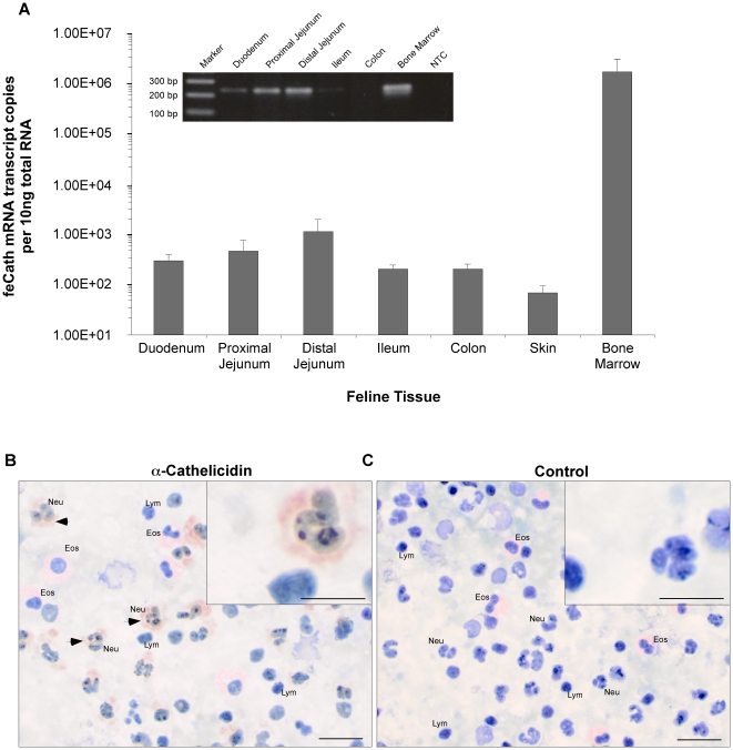 Expression and immunolocalization of feline cathelicidin. (A) Quantitative RT-PCR (qPCR) analysis of absolute copy number of mRNA transcripts encoding feCath in RNA isolated from duodenum (n = 8), proximal jejunum (n = 7), distal jejunum (n = 8), ileum (n = 8), colon (n = 8), skin (n = 2) and bone marrow (n = 7). Non-template control (NTC) in qPCR yielded