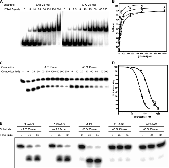 Biochemical characterization of AAG variants with oligomers containing etheno lesions. A , representative gels showing the results of gel mobility shift assays for Δ79AAG binding to ϵA:T (ϵA paired opposite T) and ϵC:G (ϵC paired opposite G) 25-mer <t>DNA</t> duplexes. 2 n m 32 P-labeled oligonucleotide was incubated with an indicated concentration of Δ79AAG in the 1× binding buffer, and the resulting protein-DNA complexes were resolved using 6% native-PAGE. The top band corresponds to the protein-DNA complex, and the bottom band corresponds to the free DNA. B , graphical representation of Δ79AAG binding to ϵA:T 25-mer (■), ϵC:G 25-mer (□), ϵA:T 13-mer (●), and ϵC:G 13-mer (○) oligonucleotide duplexes as measured by gel shift mobility assays. Error bars indicate the S.D. of at least three independent trials. C , representative gels showing the results from competition DNA <t>glycosylase</t> assays. The activity of Δ79AAG on labeled ϵA:T 25-mer duplex is inhibited in the presence of indicated concentrations of ϵA:T 13-mer and ϵC:G 13-mer unlabeled competitors. 2 n m 32 P-labeled ϵA:T 25-mer duplex oligonucleotide was incubated in 1× glycosylase assay buffer with 5 n m Δ79AAG enzyme and increasing concentrations of cold competitors at 37 °C for 30 min. Following hot alkali treatment, the products were resolved using 20% denaturing urea-PAGE. The top band represents the uncleaved DNA substrate, and the bottom band represents the cleaved product. D , graphical representation of the data from competition DNA glycosylase assays, looking at the inhibition of Δ79AAG activity on labeled ϵA:T 25-mer duplex substrate by ϵA:T 13-mer (●) and ϵC:G 13-mer (○) unlabeled competitors. Error bars indicate the S.D. of at least three independent trials. E , gel results of DNA glycosylase assays for full-length AAG ( FL-AAG ) and truncated Δ79AAG on ϵA:T and ϵC:G 25-mer DNA duplexes with E. coli mismatch uracil DNA glycosylase ( <t>MUG</t> ) as a positive control. Single strand breaks ar