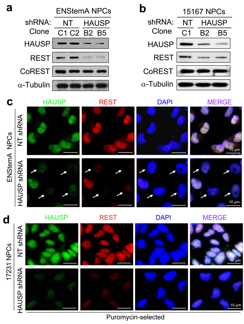 HAUSP knockdown reduces REST protein levels in NPCs. ( a, b ) Immunoblotting showed that HAUSP knockdown by two distinct shRNAs (B2 and B5) decreased protein levels of REST but not CoREST in ENStemA ( a ) and 15167 ( b ) NPCs. NPCs were infected with lentiviruses expressing shHAUSP or non-targeting (NT) control shRNA for 48 hours, whole cell lysates were harvested for immunoblotting with the specific antibodies as indicated. ( c, d ) Immunofluorescent staining confirmed that HAUSP knockdown reduced REST levels in ENStemA ( c ) and 17231 ( d ) NPCs. Cells were cultured and attached on cover glasses coated with BD Matrigel hESC-qualified matrix, infected with lentiviruses expressing shHAUSP or control NT shRNA, treated without ( c ) or with ( d ) puromycin to select for infected cells, fixed and immunostained with anti-HAUSP and anti-REST specific antibodies. HAUSP was labeled in green, and REST was labeled in red. Nuclei were counterstained with DAPI (blue). Nuclei with reduced HAUSP and REST proteins are indicated by arrows in c . All Puromycin-selected cells infected with lentiviruses expressing HAUSP-targeting shRNA showed reduced HAUSP and REST protein levels in d . Lentiviral infection efficiency in NPCs with GFP-expressing lentiviruses is shown in Supplementary Information, Fig. S7 . Uncropped images of blots are shown in Supplementary Information, Fig. S8 .