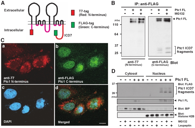 Subcellular localization of stably expressed Ptc1. (A) Schematic representation of stably transfected full-length human Ptc1 protein with possess 12 transmembrane domains. Red box at N-terminus indicates 3×T7-tag, green box at end of intracellular domain indicates C-terminal 3×FLAG-tag, respectively. (B) Western blot analyses of Ptc1 protein stably expressed in HeLa cells. Ptc1 immunoprecipitated from cell extracts with C-terminal FLAG-tag and immunoblotted with anti-N-terminal T7 tag antibody (left panel) or anti-C-terminal FLAG tag antibody (right panel). Anti-T7 blot detects doublet bands corresponding to full-length Ptc1 (Ptc1 FL), while anti-FLAG blot reveals small C-terminal fragments representing the intracellular domain of Ptc1 (ICD7 fragments) as well as Ptc1 FL. (C) Multiple staining of Ptc1-stably expressing cells by anti-T7 tag immunostain (a: Ptc1 N-terminus), anti-FLAG-tag immunostain (b: Ptc1 C-terminus), DAPI DNA stain (c: nucleus) and their merged image (d). Scale bar, 20 µm. (D) Cell fractionation analysis of Ptc1-stably expressing cells. BIP and Histone <t>H2B</t> used as cytoplasmic and nuclear marker, respectively. Ptc1 FL (+), cells stably expressing full-length Ptc1; Ptc1 FL (−), control HeLa cells.