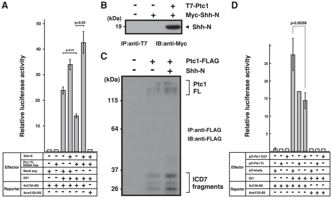 Gli1-based luciferase-reporter assay reveals Shh response in Ptc1 transfected cells. (A) Dual-luciferase reporter assay performed with Gli1 expression vector (Gli1) and a reporter construct consisting of eight copies of the Gli-binding site (8×3′Gli-BS) or its mutated version (8×m3′Gli-BS) as a negative control. Normalization of transfection efficiencies was carried out using Renilla luciferase activities as an internal control. Relative luciferase activity was monitored in cells stably expressing full-length Ptc1 (Ptc1 FL Stable exp.) and its negative control (Mock exp.) with (+) or without (−) Shh-N-conditioned media. This medium contains 19 kDa form of Shh-N fragment of Myc-tagged-Shh-N that was processed and secreted from in HeLa cells expressing full-length Shh. Addition of the Shh-N fragment stimulates transcriptional activity of Gli1 in cells stably expressing full-length Ptc1. All reporter assay experiments were repeated at least three times, and transfection was done in duplicate. (B) Stably expressed full-length Ptc1 binds with secreted Shh-N. HeLa cells that were stably expressed N-terminally T7-tagged full-length Ptc1 was exposed to Myc-Shh-N-conditioned medium. After cells were harvested, full-length Ptc1 was immunoprecipitated with N-terminal T7-tag from solubilized cell lysates (IP:anti-T7) and precipitates were probed with anti-Myc antibody (IB: anti-Myc). (C) Shh-N stimulates the production of Ptc-ICD7 fragments. Cells stably expressing full-length Ptc1 (with C-terminal FLAG-tag) were cultured with (+) or without (−) Shh-N-conditioned media. Solubilized cell lysates were subjected to FLAG-immunoprecipitation and subsequently probed with anti-FLAG antibody. (D) Relative luciferase activity as in (A) monitored in cells over-expressing Ptc-ICD7 fragment (pCI-Ptc1-ICD7), full-length Ptc1 (pCI-Ptc1 FL), and mock control (pCI-empty).