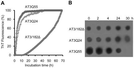 Progress of the aggregation of AT3 variants. (A) Aggregation was monitored by measuring changes in ThT fluorescence of proteins incubated at 37°C at a 25 µM concentration in PBS, pH 7.2, and in the presence of 20 µM ThT. Fluorescence was recorded using a plate reader with values read every 30 min. Individual values are the mean of three independent determinations, with standard deviations never exceeding 5% of the mean value. Fluorescence is relative to the highest value, achieved at a 60 h-incubation. (B) Time course of oligomeric AT3 form appearance, as detected by dot blot. AT3 variants were incubated at 37°C in PBS, pH 7.2, for the times indicated. Samples were withdrawn, applied to an Immobilon membrane, immunodecorated using anti-oligomer, conformation-specific antibodies (19) and revealed using ECL Western blotting reagent.