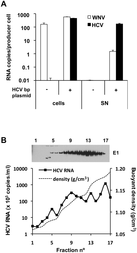 HCV RNA is preferentially associated with in HCV bicistronic particles released by BHK-WNV cells. (A) Three days after transfection of BHK-WNV cells with HCVbp-coding plasmid, RNA was extracted from cells and pellets of supernatants ultracentrifuged through sucrose cushion (SN); WNV and HCV RNA were each quantified by RT-qPCR; a similar protocol was used for control (untransfected) cells. The values on the Y-axis represent the amounts of cell- and SN-associated RNA extracted from an equivalent number of cells. (B) HCVbp released by BHK-WNV cells were analyzed on a 20–60% sucrose gradient; HCV E1 was detected by Western blot (top panel) and HCV RNA 5′-UTR measured by RT-Taqman PCR (bottom panel).