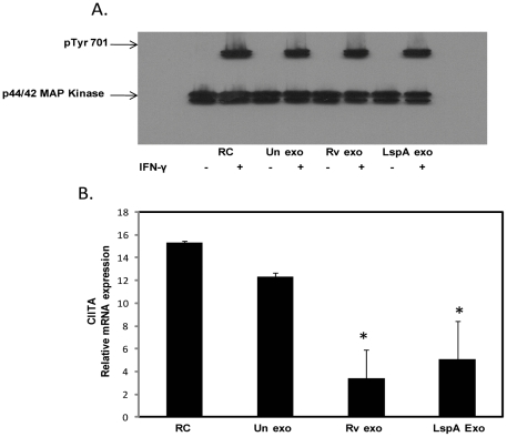 Exosomes from M.tb -infected cells do not block IFN-γ induced STAT1 phosphorylation but do inhibit IFN-γ induced expression of CIITA. BMMØ were treated +/− exosomes isolated from RAW264.7 macrophagesas described for figure 1 followed by a 30 minute incubation with IFN-γ. Cells were lysed and analyzed by Western blot for p-STAT1 (Tyr701) (A). The p44/42 MAP Kinase antibody was used as a loading control as described previously (17). BMMØ were treated with exosomes and stimulated +/− IFN-γ for 18 hours. Cells were harvested for qRT-PCR using specific primers for target gene (CIITA) and reference gene (GAPDH). Shown is the relative mRNA expression compared to untreated cells for CIITA normalized to GAPDH (B). Results are representative of two separate experiments plus standard deviation and p value