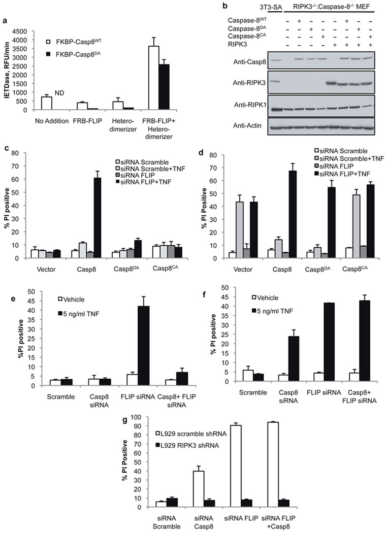 Both catalytically active caspase-8 and FLIP are required for suppression of TNF-induced RIPK3-dependent death a. Fluorogenic substrate cleavage activity of recombinant purified FKBP-caspase-8 WT or non-cleavable FKBP-caspase-8 DA in the presence of recombinant purified FRB-FLIP, a compound that induces FKBP-FRB heterodimers (heterodimerizer), or FRB-FLIP and heterodimerizer. ND indicates none detected. (Error bars are s.d., n=3) b. Western blot analysis of RIPK3 −/− :Caspase-8 −/− (DKO) MEF stably expressing the indicated mutants of caspase-8 and RIPK3. Caspase-8 CA indicates catalytically inactive caspase-8. c, d. Cell death assessed by propidium iodide (PI) uptake of DKO MEF expressing the indicated caspase-8 mutants in the absence ( c ) or presence ( d ) of stably expressed RIPK3, following transfection with scramble or FLIP-targeted siRNA, and 12 hours TNF treatment. (Error bars are s.d., n=3) e, f. Cell death (PI uptake) of SVEC 4–10 cells stably expressing RIPK3 specific ( e ) or scramble ( f ) shRNA, transfected with the indicated siRNAs and treated with TNF for 12 hours. (Graph is mean of 2 independent experiments, error bars indicate range) g. Cell death (PI uptake) of L929 cells expressing scramble or RIPK3-specific shRNA, transfected with siRNAs specific for caspase-8 and/or FLIP as indicated. Death was assessed 48h post-transfection. (Error bars are s.d., n=3.) The data presented are representative of results obtained with either of 2 separate siRNAs to both caspase-8 and FLIP.