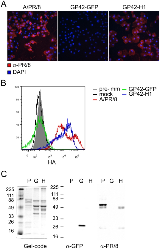 GP42-H1 vector induces expression of HA in infected cells in vitro . A) CV-1 cells were cultured on glass slides and infected with the indicated viruses (MOI = 10). At 20 hours post-infection, the infected cells were fixed in acetone and evaluated for HA expression by staining with mouse PR/8 anti-sera followed by TRITC conjugated anti-mouse IgG. Slides were mounted with Prolong-Antifade containing DAPI stain and visualized by immunofluorescence microscopy. B) PR/8, GP42-GFP, GP42-H1 or mock infected CV-1 cells were stained with the mouse PR/8 anti-sera. PR/8 infected cell were also stained with pre-immune sera (grey filled histogram) as a control for binding of nonspecific serum proteins. Surface bound mouse antibodies were detected with anti-mouse IgG-PE and analyzed by flow cytometry. C) Eggs were inoculated with PR/8 virus (P), GP42-GFP (G) or GP42-H1 (H) at 1 HA unit per egg. Sucrose purified recombinant viruses and allantoic fluid from PR/8 infected eggs were resolved on SDS-PAGE. SDS-PAGE gel was stained with gel-code blue (left), anti-GFP western blot (middle) and anti-PR8 western blot (right).