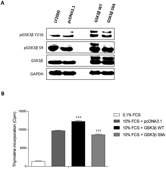 GSK3ß overexpression and S9A modification influences proliferation of primary rat PASMCs. ( A ) Primary rat PASMCs were transiently transfected with GSK3ß wild type (GSK3ß WT), constitutively active GSK3ß (GSK3ß S9A), empty vector (pcDNA3.1 TOPO). 24 hrs post transfection, expression and phosphorylation of GSK3ß were analyzed by western blotting. ( B ) Primary rat PASMCs transiently transfected with GSK3ß wild type (GSK3ß WT), constitutively active GSK3ß (GSK3ß S9A), empty vector (pcDNA3.1 TOPO) and proliferation was assessed after stimulation with 10% FCS for 24 hrs by [ 3 H]-thymidine incorporation. All values are expressed as mean ± SEM (n = 6, WT or S9A n = 12). Data were expressed as counts per minute (cpm) and normalized to the amount of cells per well. Values were presented significant as ***P