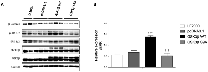 GSK3ß overexpression and S9A modification regulates ERK phosphorylation in primary rat PASMCs. ( A ) Primary rat PASMCs were transiently transfected with GSK3ß wild type (GSK3ß WT), constitutively active GSK3ß (GSK3ß S9A), empty vector (pcDNA3.1 TOPO). 24 hrs post transfection, expression and phosphorylation of GSK3ß and ERK were analyzed by western blotting followed by ( B ) densitometric quantification. All values are expressed as mean ± SEM (n = 4). Values were presented significant as ***P