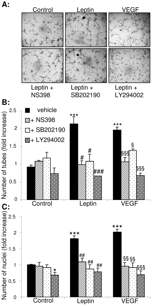 Leptin-induced capillary-like tube formation on matrigel requires activation of p38 MAPK and Akt, and is COX-dependent. HUVEC were cultured on growth-factor reduced matrigel and treated with either vehicle, leptin (1–100 ng/mL) or VEGF (25 ng/mL) in the presence or absence of 1 µmol/L NS398, SB202190 or LY294002 for 8 hours. Cells were photographed (magnification: ×5) and the number of tubes counted. Each treatment was carried out in duplicate in 3 separate experiments. A. Representative images; B. Analysis of tube number expressed as fold increase (± SEM) compared to control. *** p