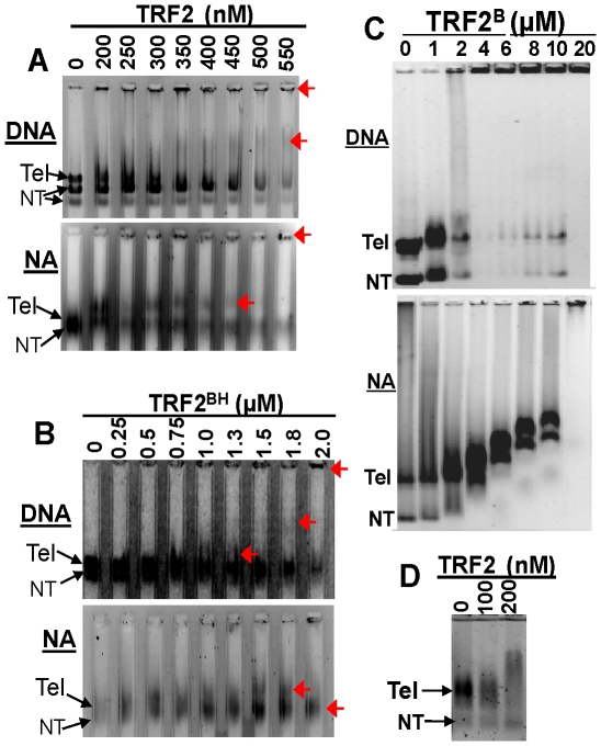 TRF2 binds to telomeric DNA (DNA) and nucleosomal array fibers (NA). TRF2 ( A ) or TRF2 BH ( B ) binding to substrates detected by electrophoresis on 0.3% agarose gels or 0.6% agarose gels to detect binding of TRF2 B ( C ). DNA and nucleosomal arrays pertain to pRST5 digested to obtain a 2 kb fragment containing the 580 bp telomeric DNA (Tel) with a 1 kb and smaller fragments being non-telomeric (NT). 0.6% agarose gel to detect binding of TRF2 to nucleosomal arrays derived from digestion of with SfaNI/PvuII/BspHI ( D ).The 0.3% agarose lanes in (A) and (B) were formed using a multi-gel apparatus as described in Materials and Methods . Red arrows point to mobility shifts produced by TRF2 or TRF2 BH complexes.