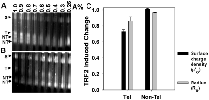 "TRF2-dependent changes in surface charge density (µ' o ) and effective radius (R e from dilute gels) of <t>nucleosomal</t> fibers determined by analytical agarose gel electrophoresis (AAGE). Multi-gels of telomeric nucleosomal array fibers (NA) in the absence ( A ) or presence ( B ) of 200 nM TRF2 prepared and subjected to electrophoresis according to Materials and Methods . ""S"" refers to carboxylate-coated microsphere standards (35 nm radius). ""T"" refers to the telomeric fragments liberated by SfaNI/PvuII/BspHI digestion of pRST5 and ""NT"" refers to the non-telomeric DNA fragments. TRF2-induced change in surface charge density (µ' o ) and effective radius (R e ) of nucleosomal arrays derived from the telomeric (Tel) or non-telomeric (non-Tel) fragments ( C ). The µ' o (black bars) or R e (grey bars) of NA in the presence of 200 nM TRF2 was normalized to 0 nM TRF2. Bars represent the mean ±1 SD from 3 separate experiments. The data were derived from multi-gels of 0.25–1% agarose concentrations while the R e bars represent the average from 0.25–0.6% agarose concentrations according to Materials and Methods ."
