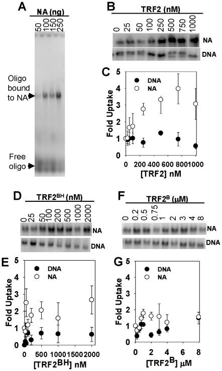 The effect of full-length TRF2, TRF2 BH , and TRF2 B on the insertion of a 5′-[ 32 P]-labeled, single-stranded oligonucleotide, (dTTAGGG) 7 (T7), into nucleosomal arrays and DNA (20 ng/µl). Samples were incubated with indicated amounts TRF2 or its truncated mutants and processed according to Materials and Methods . Agarose gel showing insertion of T7 (Free oligo) into increasing amounts of nucleosomal arrays (Oligo bound to NA), as indicated ( A ). The section of agarose gels showing T7 inserted into nucleosomal arrays (NA) or linear DNA (DNA) with increasing TRF2 or truncation mutants as indicated ( B, D and F ). Quantification of corresponding gels above where uptake was normalized to 0 nM TRF2 or truncation mutants ( C, E and G ). Each data point represents the mean ±1 SD from 3–4 separate experiments.