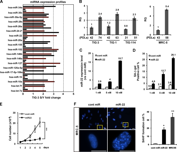 miR-22 is up-regulated in senescent human fibroblasts, mediating cellular senescence. (A) miRNA expression profile of TIG-3 fibroblasts was analyzed by miRNA microarray, presented as fold changes in miRNA expression between TIG-3S (senescent) and young (Y) cells. A set of altered expression miRNAs is indicated by red columns (see Table S1 ). RQ, relative quantitation. (B) Relative quantitation of miR-22 expression in different PDLs of fibroblasts was analyzed by qRT-PCR analysis. miR-22 expression levels in human fibroblasts were indicated, relative to those in TIG-3 (42 PDL) set at 1 in the left histogram and MRC-5 (43 PDL) set at 1 in the right histogram. U6 was used as an internal normalization control. The dashed line represents the threshold of expression level (twofold vs. TIG-3 42 PDL). (C and D) MRC-5 cells were transfected with cont miR or mature miR-22 (miR-22) for 6 d at indicated concentration. (C) qRT-PCR analysis shows the relative quantitation of miR-22 expression (vs. cont miR) in each transfection group. miR-22 expression levels in miR-22–transfected MRC-5 cells were indicated, relative to that in cont miR–transfected cells set at 1. U6 was used as an internal normalization control. (D) SA-β-gal activity was presented by the percentage of SA-β-gal–positive cells, which was indicated in different dose groups. (E) Cell proliferation assay was performed after transfection of 10 nM miR-22 or cont miR, and cells were counted for the indicated days. Each value was determined in triplicate. **, P