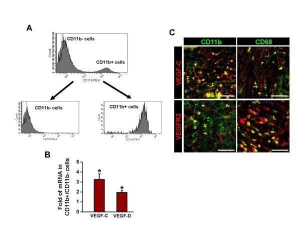 CD11b + or CD68 + TAM abundantly express VEGF-C/D and VEGFR-3 . 1 × 10 6 MBT-2 cells were injected into the urinary bladders of 8-10-week old female C3H mice. 4 weeks after the tumor cell injection, single cell suspension of OUBC was prepared. ( A ) CD11b + cells and CD11b - cells were enriched by FACS with ~95% purity. ( B ) Comparison of mRNA expressions of VEGF-C/D in CD11b + cells. Data are presented as relative fold to CD11b - cells after standardization with hypoxanthine-guanine phosphoribosyl transferase (HPRT). Graph shows mean ± SD; n = 3 for each group. *p
