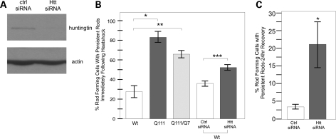 Huntingtin protein is required for proper cofilin nuclear rod formation and clearance following cell stress. ( A ) Western blot against huntingtin protein after control siRNA or huntingtin-specific siRNA was expressed in wild-type huntingtin STHdh Q7/Q7 cells for 72 h. Anti-actin shown as a loading control. ( B ) Comparison of percent nuclear rod forming cells with persistent rod phenotype in heat-shocked cells. Comparison between STHdh Q7/Q7 , STHdh Q111/Q111 and STHdh Q7/Q111 cell lines as well as in STHdh Q7/Q7 cells following siRNA treatment. Experiment performed as described previously. N = 3, * P -value of
