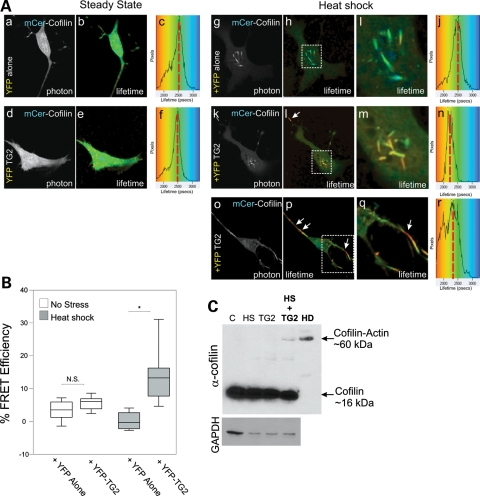 TG2 directly interacts with cofilin–actin rods during stress and TG2 over-expression induces a cofilin–actin complex in stressed cells. ( A ) STHdh cells were transiently transfected with mCerulean–cofilin and either eYFP alone (a–c, g–j) or eYFP-TG2 (d–f, k–r), and FLIM analysis was performed either before (a–c, d–f) or following a 45 min heat shock at 42.5°C (g–j, k–n, o–r). Fluorescence lifetimes for mCerulean blue are presented with a continuous pseudocolor rainbow scale representing time values ranging from 1750 to 3250 ps. The lifetime distribution curve of the mCerulean–cofilin is shown as a histogram on the right representing the number of pixels at each lifetime. The red vertical broken line marks the median lifetime distribution for the cell. Red arrows connect histogram value position with lifetime image value. ( B ) Box and whisker plot representing FRET efficiency, with FRET occurring at distances