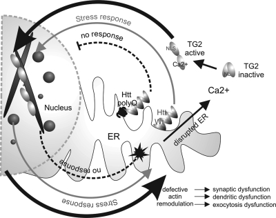 A model for defective huntingtin-mediated <t>cofilin</t> rod stress response leading to activation of TG2. The grey arrow pathway highlights normal huntingtin stress response by releasing from the ER, entering the nucleus and binding cofilin–actin rods, then exiting the nucleus upon stress relief. With mutant huntingtin present, the dashed arrow pathways show a defect in huntingtin stress response, resulting in less nuclear activity and persistent rods. Back in the cytoplasm, the black arrow pathways highlight elevated calcium due to a defective ER, which results in aberrant TG2 activation and cross-linking of cofilin–actin in both the nucleus and cytoplasm. Defective actin remodeling critically affects neurons at the level of dendritic and synaptic dysfunction, as well as exocytosis activity in peripheral cells.