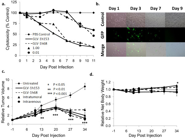 GLV-1h153 infection and killing in cell culture and in vivo . a. PANC-1 cells were infected by various GLV-1h153at MOIs of 0.01, 0.1, and 1.0. Cell viability was determined via lactate dehydrogenase assays, and was set at 100% before infection. GLV-1h153 infected and was cytotxic at various MOIs, with less than 20% survival of cells as compared to control at an MOI of 1.0 by day 9. The values are the mean of triplicate samples, and bars indicate SD. b. GFP expression is shown to be time-dependent, with abundant GFP expression by day 3. Phase overlay pictures shows gradual cell death and thus decline of GFP expression by day 7. Closer examination of infected cells reveals loss of normal morphology and cell progressive cell detachment. c. 2 × 10 6 PFUs of GLV-1h153 or GLV-1h68, or PBS were injected IVly or ITly into nude mice bearing s.c. PANC-1 tumors on the hindleg (~100 mm 3 ). GLV-1h153 was able to regress pancreatic tumor xenograft both ITly and IVly starting at day 13. The values are a mean of 4-5 mice, with bars indicating SEM. d. GLV-1h153 infection of pancreatic tumor xenografts did not have adverse effects on body weight at 5 weeks post injection, with the IT group even gaining weight compared to control.