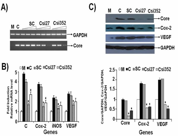 HCV 3a Core-specific siRNA inhibit expression of genes involved in HCV pathogenesis . Huh-7 cells were transfected with HCV 3a Core expression vector or mock along with or without siRNA. (A) Dose dependent mRNA expression of HCV 3a Core gene as a result of 10 μM, 20 μM and 40 μM of siRNAs for 48 hrs. Cells were harvested and relative RNA levels in PCR Csi27 and Csi352 siRNAs tranfected cells were determined using semi-quantitative PCR. Expression levels for mock-transfected (M), HCV 3a Core expression plasmid (C), scramble siRNA (SC) and GAPDH are also shown. (B) Silencing effect of HCV 3a Core gene on the RNA expression levels of cellular genes (Cox-2, iNOS and VEGF) 48 hrs post transfection on Real-Time PCR using gene specific primers in comparison to mock was performed. GAPDH was used as internal control. Three independent experiments were performed having triplicate samples. Error bars indicate, mean S.D, *p
