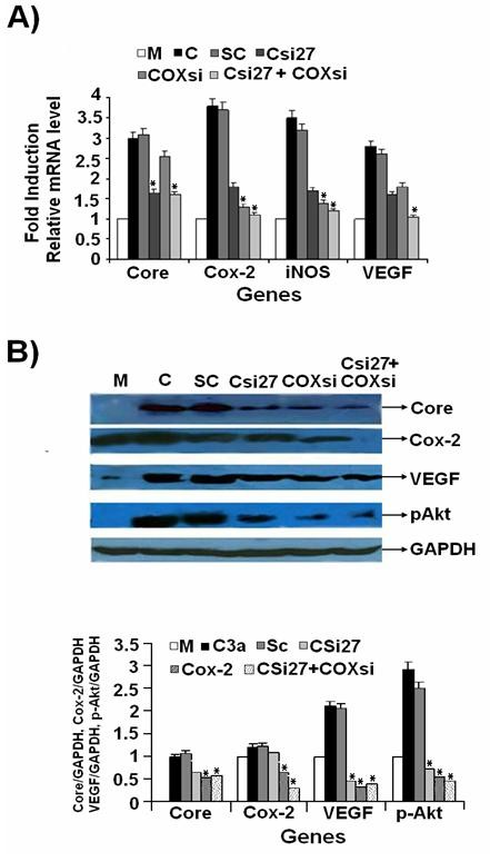 Combined effect of Cox-2 and HCV 3a Core siRNAs on Cox-2, iNOS, VEGF and p-Akt gene expression . (A) Huh-7 cells were transfected with HCV 3a Core expression vector (C) or mock-treated (M) along with or without siRNAs (Csi27 and COXsi) alone or in combination (Csi27+COXsi) for 48 hrs. Total RNA was quantified by Real-Time PCR and is shown as fold induction for Cox-2, iNOS and VEGF genes using their gene specific primers. (B) Western blot analysis of Huh-7 cells treated with and without Core, Cox-2 and combined siRNA was carried out using specific antibodies. Three independent experiments with triplicate determinations were performed. Error bars indicate mean S.D, * p