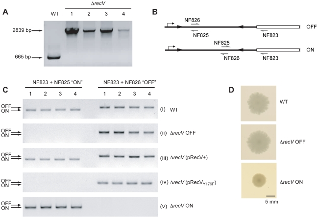 Isolation of Δ recV mutants. A. PCR confirmation of recV gene disruption using ClosTron. Primers NF1215+NF1356 flanking the ClosTron target site in recV give a 665 bp product in 630Δ erm (WT). After mutagenesis, four erythromycin resistant colonies were tested and a 2839 bp product was amplified, indicative of insertion of the group II intron into recV . These clones were designated Δ recV 1-4. B. Diagrammatic representation of the cwpV DNA switch orientation-specific PCR assay. Primers NF823+NF826 amplify a product from OFF, whilst primers NF823+NF825 amplify a product from ON. C. Analysis of the orientation of the cwpV DNA switch in C. difficile clones by orientation PCR. (i), products for the ON and OFF orientations are amplified from WT. (ii), all four isolated Δ recV mutants contain only the OFF orientation of the cwpV DNA switch, therefore these strains are referred to as 630Δ recV OFF. (iii), complementation of 630Δ recV OFF using a plasmid encoding recV (pRecV+) reconstituted the switching phenotype. (iv), a recV Y176F mutant was unable to complement Δ recV OFF confirming the key role of this tyrosine residue in RecV activity. (v), Δ recV (pRecV+) was serially sub-cultured without thiamphenicol selection to enable curing of the pRecV+ plasmid. Four thiamphenicol sensitive colonies were isolated from which only the ON orientation of the cwpV DNA switch could be amplified. These strains were therefore designated Δ recV ON. D. Colony morphologies of WT and Δ recV OFF are similar, however Δ recV ON exhibit a smaller, smoother-edged colony morphology.