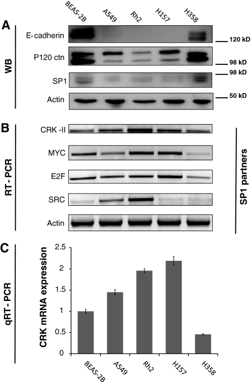a Western blots showing the expression level of E-cadherin, p120ctn and SP1 in a panel of NSCLC and BEAS-2B cells. b Conventional RT-PCR analysis of mRNA for candidate SP1 binary interaction partners including CRK, MYC, E2F and SRC in the above mentioned panel of cells. c Quantitative RT-PCR measuring CRK mRNA levels in our panel of NSCLC as well as BEAS-2B cells. CRK mRNA levels inversely correlates with p120ctn levels in NSCLC cells