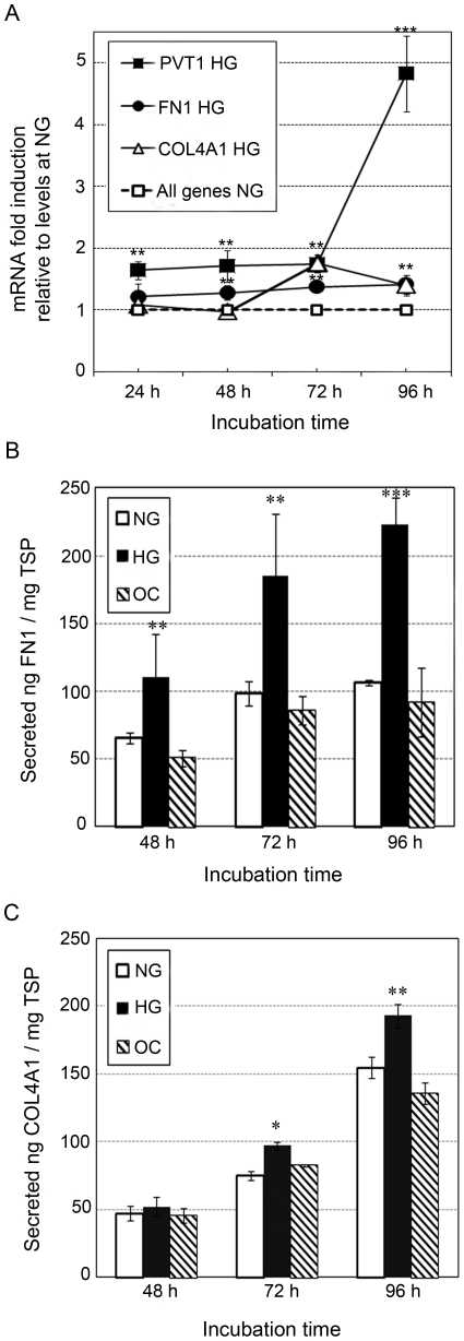 Effect of glucose on expression of PVT1 , FN1 , and COL4A1 in normal human mesangial cells (MC). Prior to treatment with high glucose, MC, at approximately 70% confluence, were cultured in serum-free MsBM medium for 24 hours to arrest and synchronize cell growth. After this time period, MC were grown for 24, 48, 72 or 96 h in MsBM medium supplemented with 5% FBS, containing either normal glucose (NG; 5.6 mM), NG+3-O-methyl-D-glucose (3-O-MG) to control for osmotic effects (OC: 5.6 mM glucose+24.4 mM 3-O-MG) or high glucose (HG: 30 mM). ( A ) Relative quantification of PVT1 , FN1 and COL4A1 mRNA by TaqMan qPCR. The mRNA level for all the genes was arbitrary set to 1 under NG conditions at each time point. Data are presented as mRNA fold-increase incubated under HG or NG conditions. Quantification of secreted FN1 ( B ) and COL4A1 ( C ) proteins by ELISA. Data are expressed as nanograms of FN1 or COL4A1 per total soluble protein (TSP). Results represent average of three independent experiments. Data are means ± SD. A.U.: arbitrary units. * P