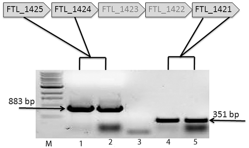 RT-PCR of the DNA region FTL_1421 from LVSΔ1423/1422. LVS and LVSΔ1423/1422 were grown on Glc-CDMA for at least 2 days, the RNA isolated, converted to cDNA, and amplified by PCR to determine if a transcript from DNA downstream of the mutation was made. Lanes: M, 1 kb+ DNA molecular size standards; 1, control amplification of FTL_1425-1424 in LVS; 2, amplification of FTL_1425-1424 upstream of the mutation in LVSΔ1423-1422; 3, control amplification of FTL_1425-1424 upstream of the mutation (no bacteria); 4, control amplification of FTL_1421 from LVS; 5, amplification of FTL_1421 immediately downstream of the mutation in LVSΔ1423/1422. The presence of a normal band of about 351 bp from LVSΔ1423/1422 indicated that the mutation had no polar effect on downstream genes.