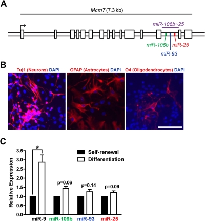 The miR-106b ~ 25 cluster is expressed in adult NSPCs in culture. ( A ) Genomic locus of the mouse miR-106b~25 cluster and its host gene, Mcm7. ( B ) NSPCs (age 12 weeks, passage 2) were grown in multi-lineage differentiation conditions (no EGF or bFGF, with 1% FBS) for 7 days and then stained for Tuj1 (a marker of neurons), GFAP (a marker of astrocytes), or O4 (a marker of oligodendrocytes). Scale bar: 100 μm. ( C ) miRNA expression was determined by RT-qPCR in NSPCs in self-renewal conditions (with EGF and bFGF, no FBS) or differentiation conditions (no EGF or bFGF, with 1% FBS) for 4 days. Mean and SEM of gene expression relative to self-renewal conditions for 3 independent NSPC cultures (age 12 weeks, passage 2) are shown. One-sample two-tailed t-test, *: p