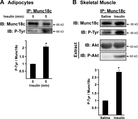 Insulin stimulation increases Munc18c tyrosine phosphorylation. (A) Munc18c was immunoprecipitated (IP) from cleared detergent cell lysates prepared from fully differentiated 3T3-L1 adipocytes that were incubated in serum-free medium for 2 h and then stimulated with 100 nM insulin for 5 min. Proteins were resolved by 10% SDS-PAGE, immunoblotted (IB) for Munc18c, stripped, and reblotted for detection of tyrosine-phosphorylated (P-Tyr) Munc18c using the 4G10 antibody. Data were collected from four independent experiments quantified as the ratio of tyrosine-phosphorylated Munc18c/total Munc18c precipitated and normalized to basal set = 1.0; *, P